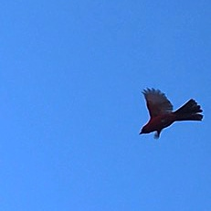 Cardinal Flying over Taos, New Mexico Lumos Center Meditation Release and Rejuvenate